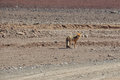 Desert Fox in Sur Lipez, South Bolivia Royalty Free Stock Photo