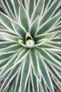 Desert Garden Agave