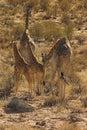 Desert Giraffe Royalty Free Stock Photo