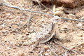 Desert Horned Lizard in Arizona Royalty Free Stock Photo
