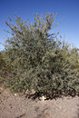 Desert ironwood bush olneya tesota Stock Image
