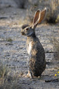 Desert jackrabbit in Saguaro National Park Royalty Free Stock Photo