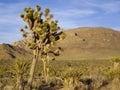 Desert Joshua Tree and Yucca Stock Photos