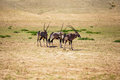 Desert kings gemsbok standing around in the sun close to a watering hole Stock Photography