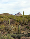 Desert landscape beautiful of the sonoran in winter Royalty Free Stock Photo