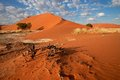 Desert landscape namibia with grasses red sand dunes and african acacia trees sossusvlei Stock Photos