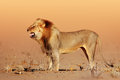 Desert lion in the kgalagadi south africa Royalty Free Stock Image