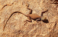 Desert lizard on the rock Royalty Free Stock Photo