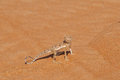 Desert Lizard Royalty Free Stock Photo