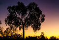 Desert oak outback australia sunset Royalty Free Stock Photo