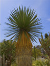 Desert Palm Royalty Free Stock Images