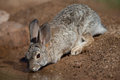 Desert rabbit drinking at pond adult on sonora Stock Photos