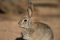Desert rabbit portrait adult in sonora Royalty Free Stock Photography