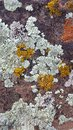 Desert Redrock with Light Green, Yellow, and Orange Lichen Patterns Royalty Free Stock Photo