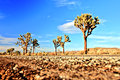 Desert Road with Joshua Trees in the Joshua Tree National Park, USA Royalty Free Stock Photo