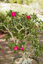 Desert rose or adenium has colorful flowers and unusual thick caudice appearing as a thickened short perennial stem that may be Stock Photo