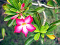 Desert rose aka adenium adenium obesum beautiful tropical flower Stock Images