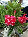 Desert rose beautiful red flowers Royalty Free Stock Photography