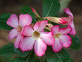 Desert rose blossom pink branch Stock Photo