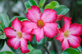 Desert rose in close up Royalty Free Stock Images