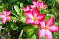 Desert rose flower floral background tropical pink adenium Royalty Free Stock Photography