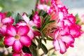Desert Rose; Impala Lily; Mock Azalea Royalty Free Stock Photo