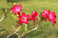 Desert Rose Royalty Free Stock Photo