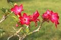 Desert Rose Royalty Free Stock Photo