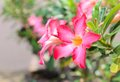 Desert Rose-Impala Lily- Mock Azalea Pink flowers Royalty Free Stock Photo