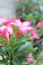 Desert rose impala lily mock azalea pink flowers beautyful floral background Royalty Free Stock Images
