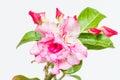 Desert rose or Impala lily Royalty Free Stock Photo