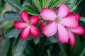 Desert rose ping flowers Stock Photo
