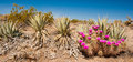 Desert scene panoramic composition of flowring hedgehog cactus among agave plants Royalty Free Stock Photography