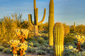 Desert sonoran catching day s last rays Royalty Free Stock Images