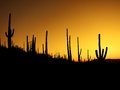 Desert southwest saguaro cacti morning many cactus on mountainside in Royalty Free Stock Images