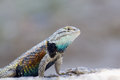 Desert Spiny Lizard Royalty Free Stock Photo