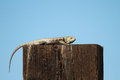Desert spiny lizard sceloporus magister lounges on a fence post in mojave national preserve in california Royalty Free Stock Photo
