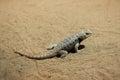 Desert spiny lizard sceloporus magister wildlife animal Stock Image