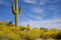 Desert in spring a wildflower bloom surrounds a saguaro cactus the arizona Stock Photo