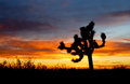 Desert sunset colection a beautiful arizona with joshua tree silhouette and cloud Stock Image