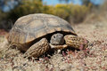 Desert tortoise head on a in some sparse grassland Royalty Free Stock Image