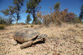 Desert tortoise a in some sparse grassland Royalty Free Stock Photos