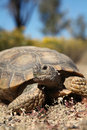 Desert tortoise up close a of a Stock Photos