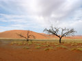 Desert tree and sand in namibian africa Royalty Free Stock Photo