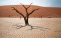 Desert a tree in the of sossusvlei Stock Images