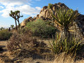 Desert vegetation varied in joshua tree national park Stock Photography