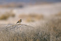 Desert Wheatear in its habitats Royalty Free Stock Photo