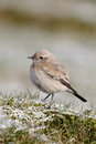 Desert wheatear oenanthe desert deserti single female on frosty grass shropshire december Royalty Free Stock Image