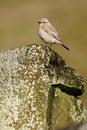 Desert wheatear oenanthe desert deserti single female on rock shropshire december Royalty Free Stock Photo