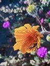 Desert Wildflowers spring super bloom Royalty Free Stock Photo